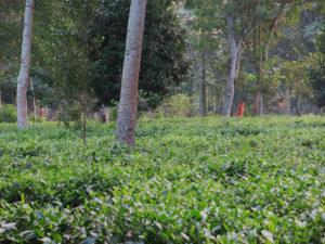 Visite d'une plantation de thé d'Assam bio… en mode VIP !