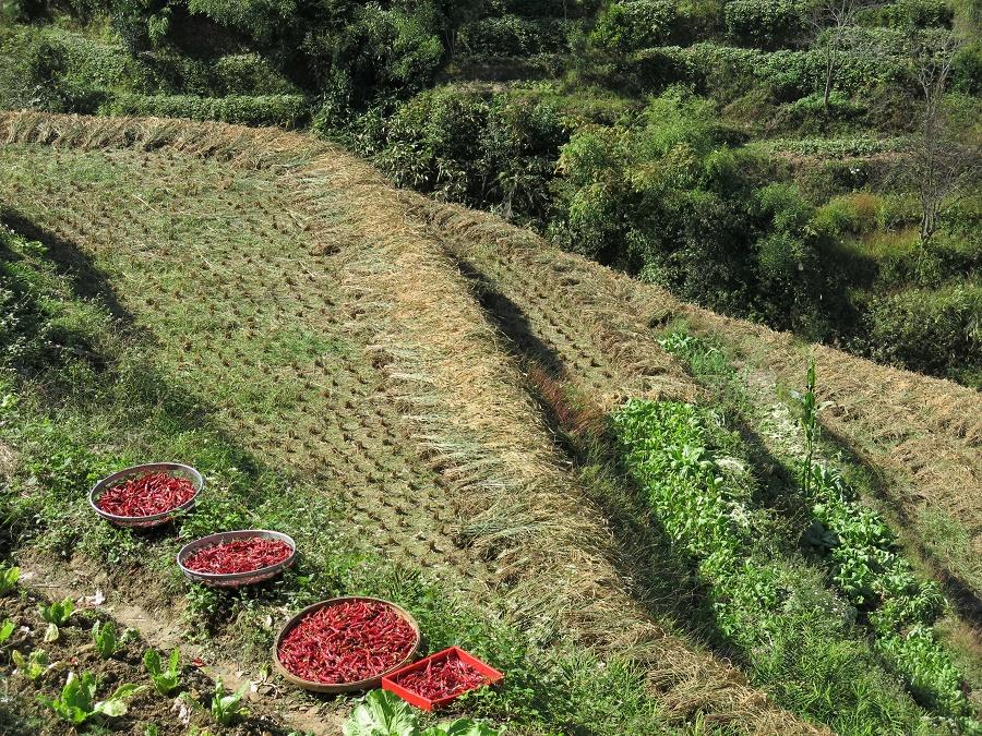 Apparemment, c'était aussi la saison des piments ! J'en ai souvent vus en train de sécher au bord des champs.