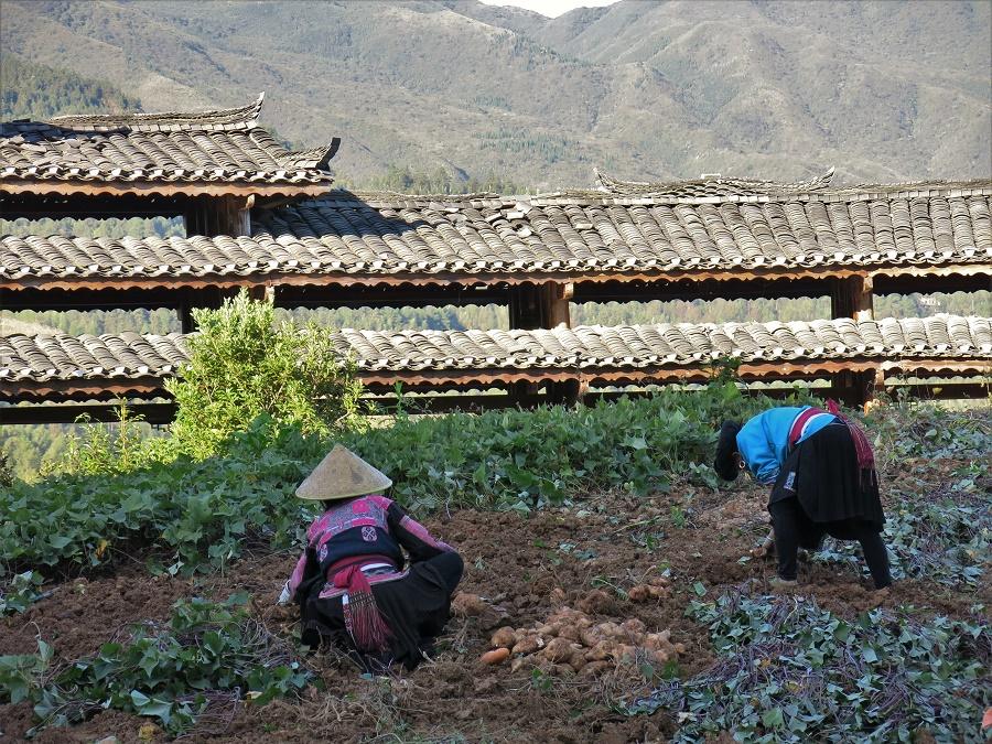 La récolte des patates douces et autres légumes racines allait également bon train. Le riz ayant été fauché, je voyais les paysans s'affairer à présent dans leurs potagers en terrasses. La plupart des dames portaient le costume traditionnel de cette ethnie, orné de broderies roses. Leurs très longs cheveux étaient noués en chignon au-dessus de leur front et recouverts d'une coiffe noire, également typique de la région.
