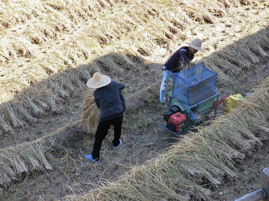 De l'autre côté de la batteuse ressortaient d'une part la paille et d'autre part les grains de riz, qui tombaient directement dans un gros sac de toile. Les paysans rassemblaient ensuite la paille en tas et la faisaient brûler, répandant dans la vallée des panaches de fumée blanche.