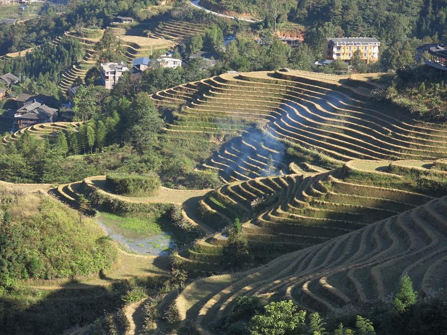 Dans les rizières en terrasse de Longji, le riz avait déjà été coupé quand je suis arrivée.