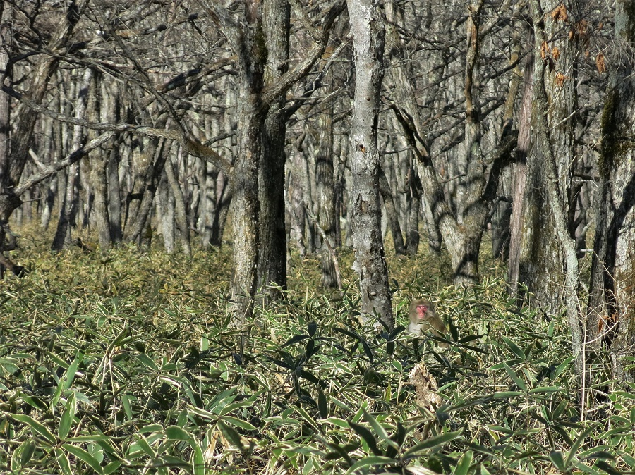 En traversant les bois du plateau de Senjogahara, j'ai eu le bonheur de tomber sur un grand groupe de macaques japonais. Complétement sauvages mais l'air pacifiques, ils se baladaient dans les fourrés de bambous nains à quelques mètres à peine de moi. Il y en avait des dizaines, de toutes les tailles, et j'ai pu les observer pendant de longues minutes avant qu'ils ne disparaissent silencieusement dans les sous-bois. En six semaines au Japon, c'est la troisième fois que j'aperçois des macaques sauvages !