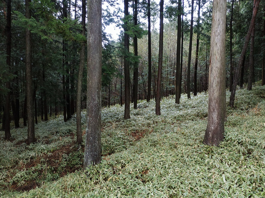 Ces jolis petits bambous nains recouvrent souvent les sous-bois des montagnes japonaises. Je viens de réaliser qu'eux aussi sont comestibles !