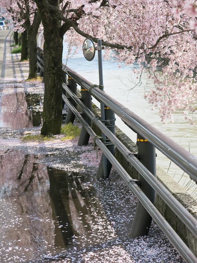 En ce début avril, les cerisiers en fleurs se reflétaient non-seulement dans les petits canaux du quartier ancien de Takada, mais aussi dans les flaques de la pluie de la veille ^^