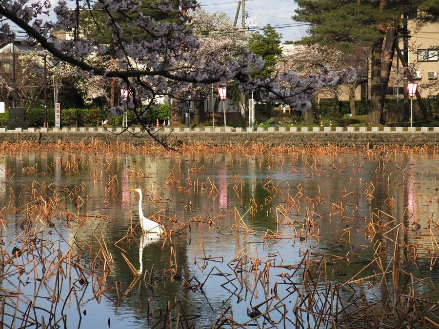Ces mêmes plans d'eau sont aussi très réputés pour l'abondante floraison des lotus qui les recouvrent en été. On les retrouve même représentés dans des estampes anciennes... En automne, les touristes viennent admirer les belles couleurs des érables écarlates autour du château, et en hiver le pont recouvert de neige. Mais toute l'année, on a droit à de beaux canards et de magnifiques grues blanches ! C'est peut-être pour ça qu'on les retrouve représentés jusque sur les bouches d'égout de Jôetsu ?
