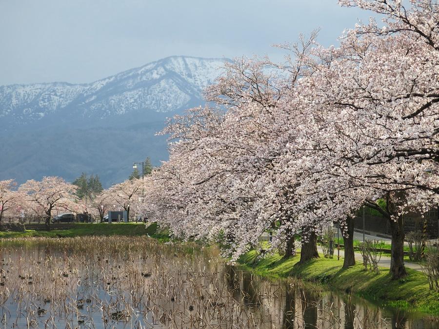 Les cerisiers en fleurs se reflétaient dans les eaux entourant le parc du château de Takada. Derrière, on aperçoit le massif du mont Myôko, autre grand attrait de la région de Jôetsu.