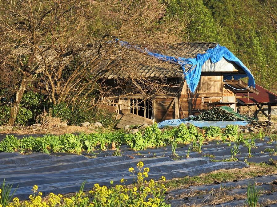 On est fin avril mais là où je suis actuellement, dans les Alpes japonaises, le printemps démarre tout juste... Ainsi, si les hivers sont rudes et qu'il n'y a pas grand-chose à faire à la ferme, il se peut que les hôtes de wwoofing n'accueillent personne en hiver.