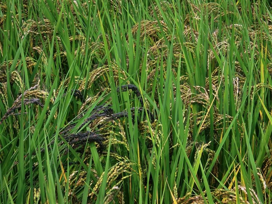 Plants de riz bio blanc et noir à Sasayama, dans la préfecture de Hyogo. C'est dans ce petit village de la montagne japonaise que j'ai fait du wwoofing pour la première fois, en 2016.