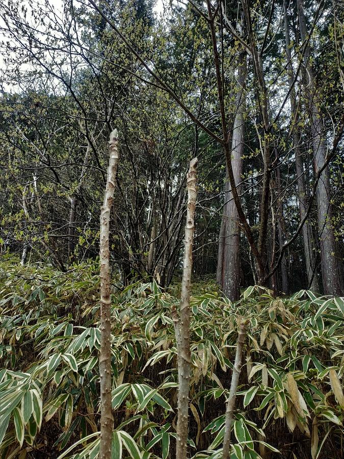 Le taranome, ou angélique japonaise, est un arbre à l'aspect étrange, et même un peu patibulaire... Il forme de longs troncs fin, à l'écorce parfaitement lisse mais hérissée d'épines particulièrement féroces !