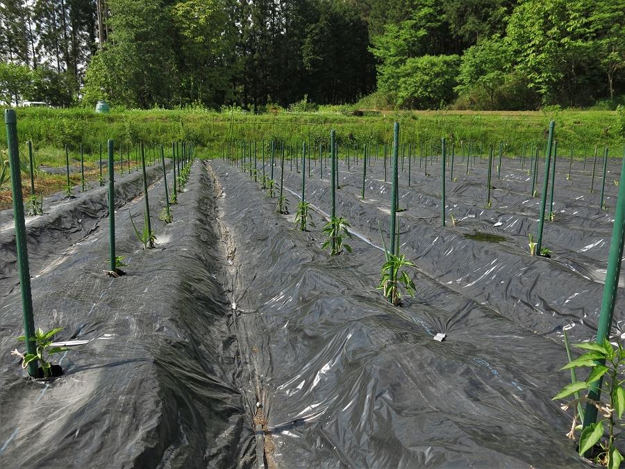 Mais le negi est aussi une plante aux vertus très appréciées en permaculture ! Dans la ferme de wwoofing où je séjourne en ce moment, nous venons de planter les précieux plants de piment bio pour la saison à venir. Juste à côté de chaque petit plant de piment, nous avons ajouté un negi de l'année dernière qui l'aide à bien grandir et le protège des pucerons. C'est bien simple, le piment et le negi S'ADORENT. Une association qui marche aussi très bien avec la carotte et le persil, paraît-il...