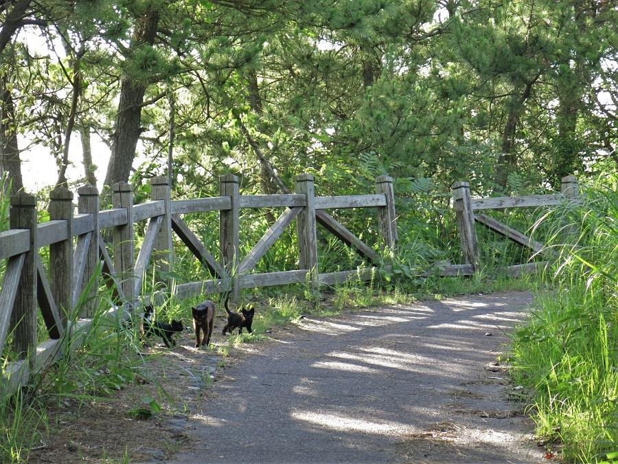 """Nous avons adoré cette balade, mais pas seulement pour la mer bleue, la lave noire et les pins verts... Il y avait aussi des petits chats de toutes les couleurs ! Ils s'étaient réparti le territoire de façon très précise : tous les 600 mètres environ, nous tombions sur un matou solitaire ou une chatte et ses petits. Tous avaient les mêmes yeux jaunes, braqués sur nous tels des phares, et la même requête : """"miaouuu, donne-moi à manger !!"""" Je ne peux qu'imaginer que les autres touristes, comme nous l'avons fait, s'empressent de s'exécuter. Un vrai cartel ;)"""