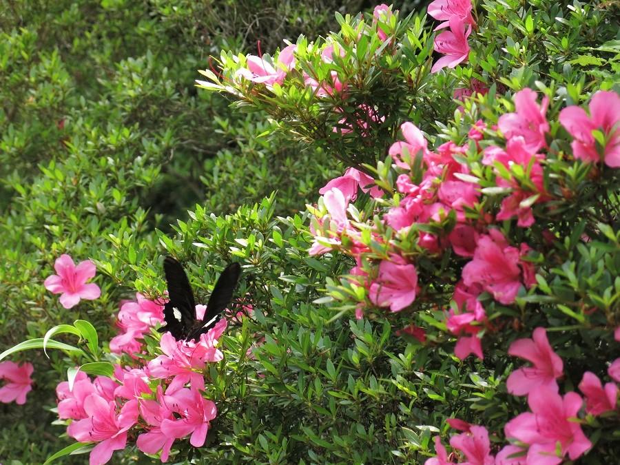 Puis les papillons géants butinant les touffes d'azalées en fleurs...