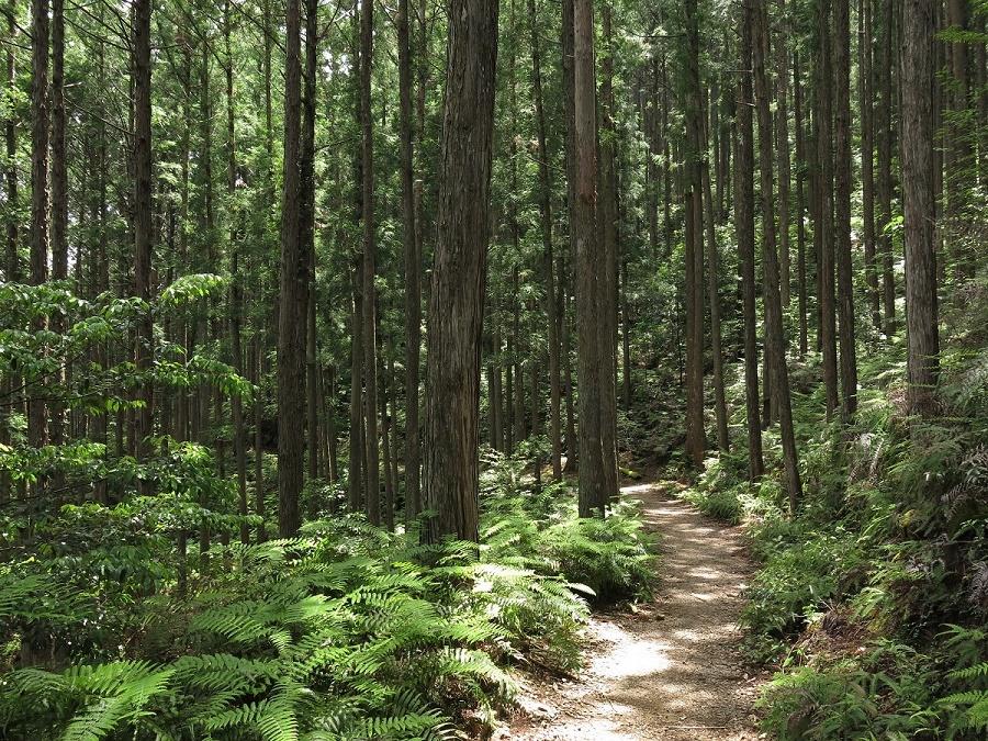 Nous avons tous les deux ADORÉ la randonnée d'une demi-journée pour rejoindre le premier des trois grands lieux sacrés du Kumano Kodô, le sanctuaire Hongû Taisha. Nous avons profité d'un passage de beau ciel bleu, inhabituel en ce début de saison des pluies, et c'était comme marcher au pays du Magicien d'Oz. À commencer par la forêt de cèdres centenaires et de fougères...