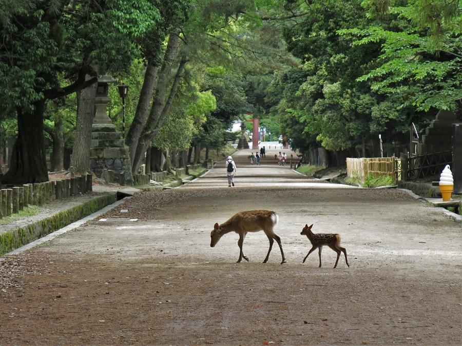 """Un faon et sa maman dans le fameux parc de Nara où, outre des temples classés par l'UNESCO, on peut admirer des biches japonaises """"sauvages"""". Un lieu pris d'assaut en temps normal, mais si paisible en période de coronavirus !"""