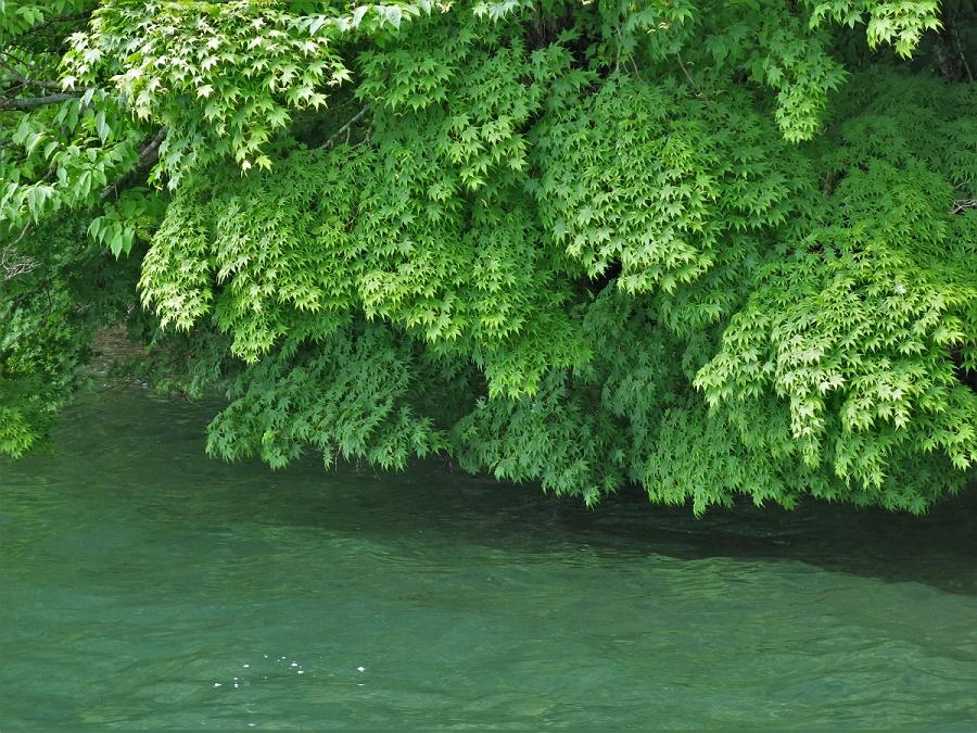Les feuillages autour du lac étaient donc bien verts... Un vert particulièrement profond, certes, mais qui ne pourra jamais égaler les ors, les écarlates et les ocres du mois d'octobre ! Les érables japonais comme celui-ci peuvent même adopter des tons roses ou violets. Or, le lac Towada est particulièrement réputé pour ses paysages d'automne. D'après mon guide, c'est donc en octobre qu'il faut absolument visiter le lac.