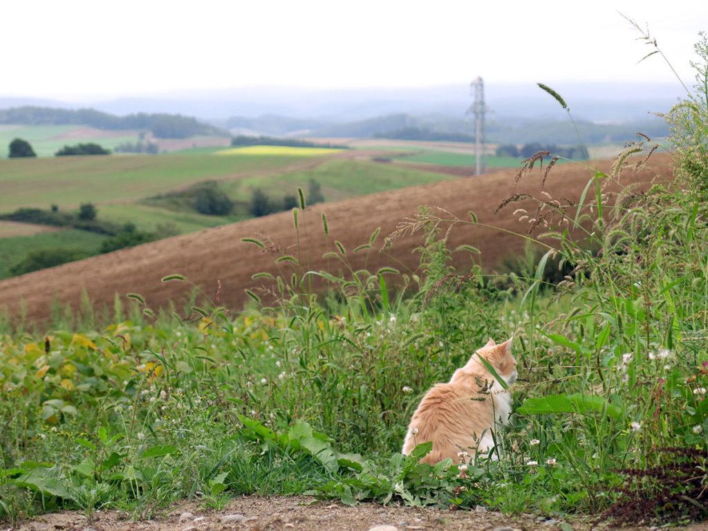 Un petit chat surpris en train de contempler son domaine de champs de colza, de soja et de sarrasin. À nous autres Occidentaux, ce paysage ondulant de grands champs paraît très familier... Mais pour les Japonais, habitués aux reliefs accidentés et aux micro-parcelles du reste de l'archipel, Hokkaido est vraiment dépaysante !
