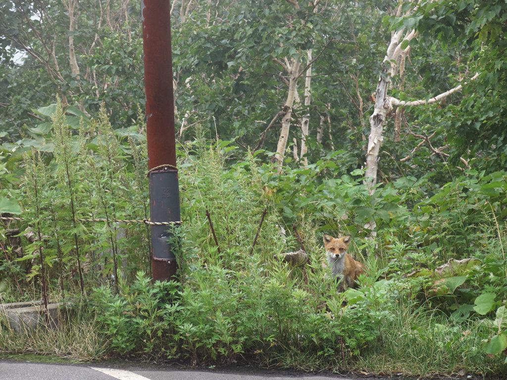 """Je suis descendue au terminus du minibus, à l'arrêt """"Tokachidake-Onsen"""", ce qui signifie """"source chaude du mont Tokachi"""". En effet, ce point de départ de randonnée, déjà situé à environ 1500 mètres d'altitude, est doté d'un vieil établissement de bains thermaux avec vue sur les montagnes ! De vue il n'y avait point, si ce n'est un mur de brouillard impénétrable, mais un renard peu craintif nous attendait au bord du parking."""
