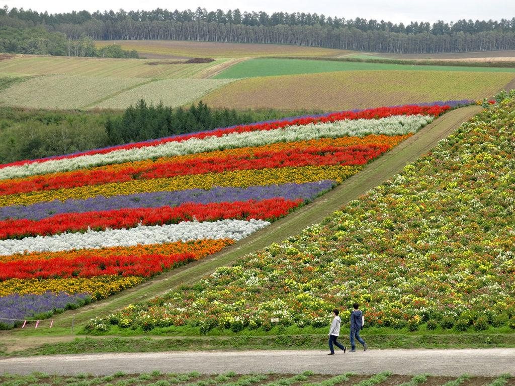 Mais ce qui fait la renommée absolue de la région de Furano, attirant chaque été des hordes de touristes, ce sont les champs de fleurs géants qui étalent leurs rayures de colline en colline.